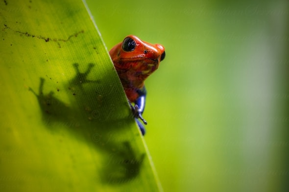Strawberry poison-dart-frog