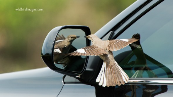 Mockingbird on Car Mirror