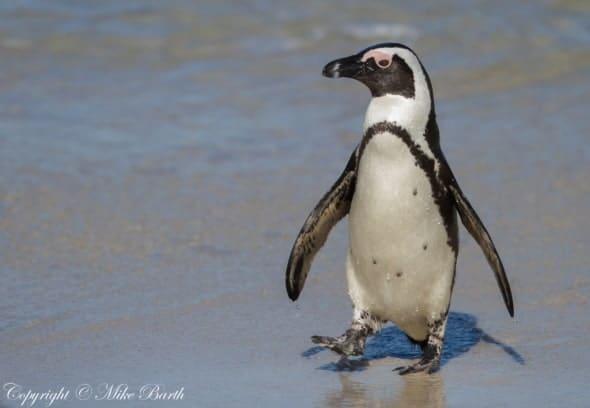 African Penguin Spheniscus Demersus (EN)