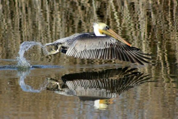 Brown Pelican Liftoff