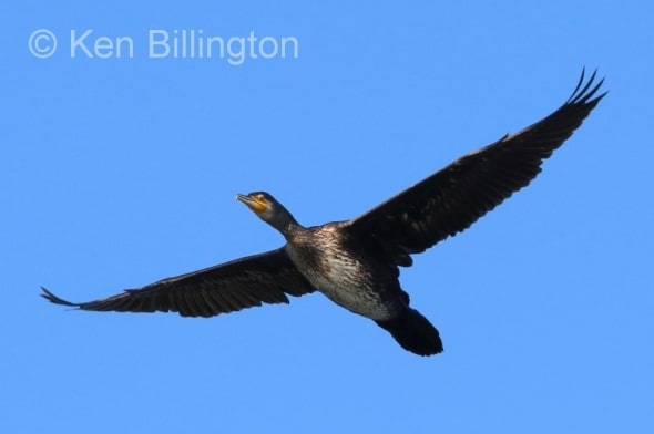 Great Cormorant (Phalacrocorax carbo) in Flight