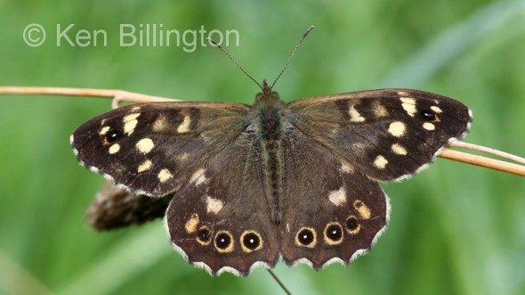 Speckled-Wood-