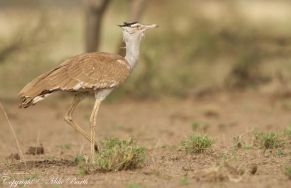Arabian Bustard Ardeotis Arabs (NT)