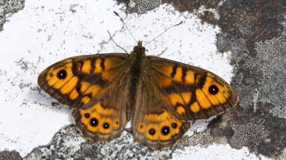 Wall Brown Lasiommata meguera (01)