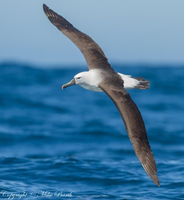 Indian Yellow-nosed Albatross Thalassarche carter