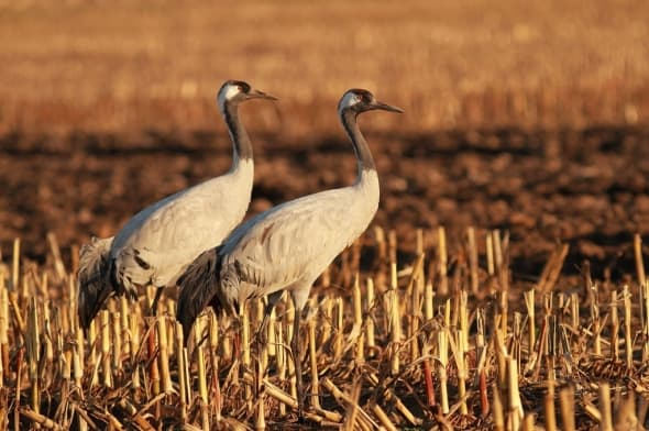 Eurasian Crane Couple