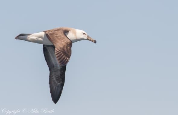 Black-browed Albatross (NT)