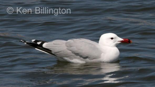 Audouin`s Gull (Larus audouinii)
