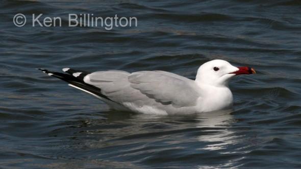 Audouin`s Gull (Larus audouinii) (2)