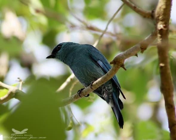 Verditer Flycatcher-  Eumyias Thalseeinus