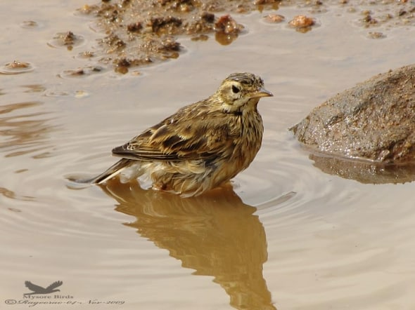 Paddyfield Pipit- Anthus Rufuls