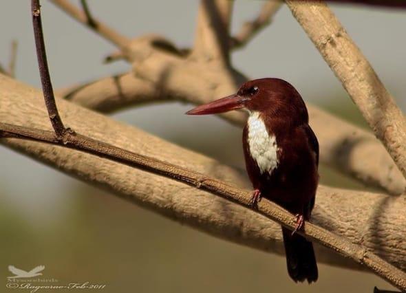 White-throatd Kingfisher- Halcyon Smyrnensis