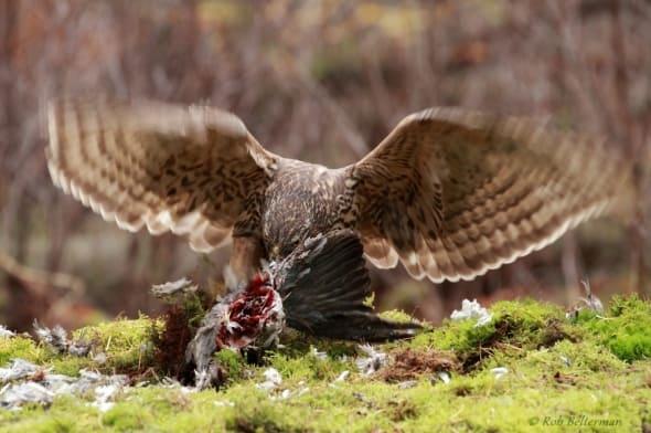 Juv. Goshawk with Pigeon