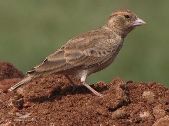 Ashy-crowned Sparrowlark-eremopterix Grisea