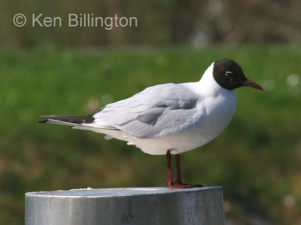 Black-Headed Gull (Larus ridibundus) (1)