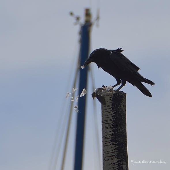 Common Raven by Feeding