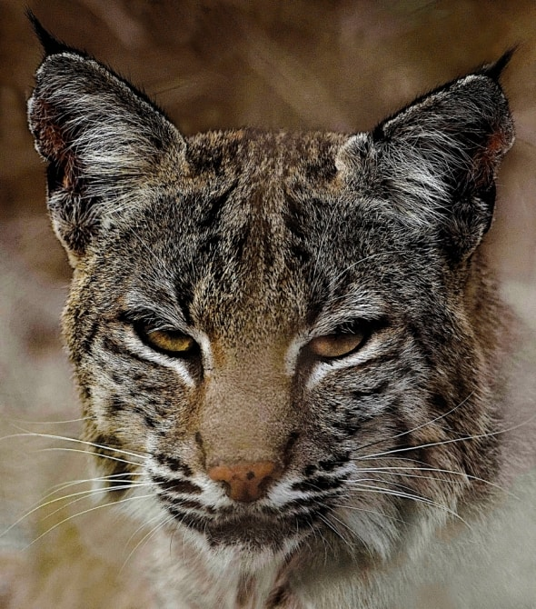 Portrait of a Hungry Bobcat