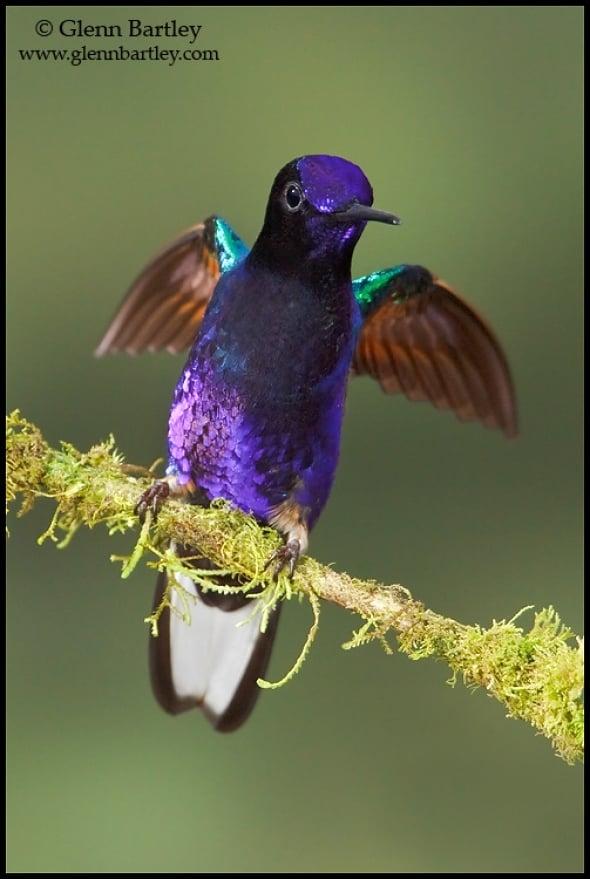 Velvet-purple Coronet (Boissonneaua jardini)