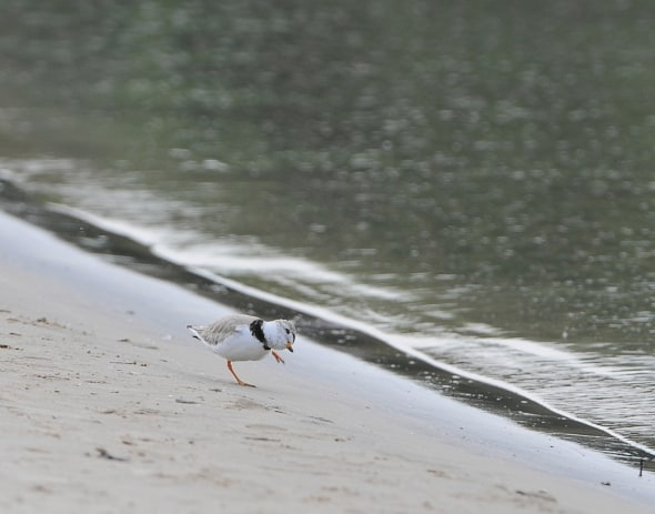 A Piping Plover Dances on the Shore.