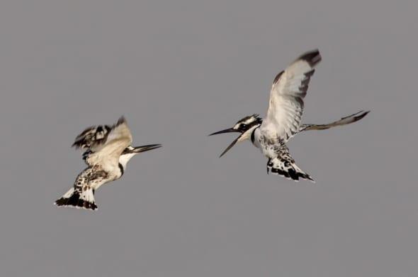 Squabbling Pied Kingfishers