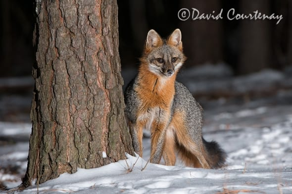 Grey Fox in Snow