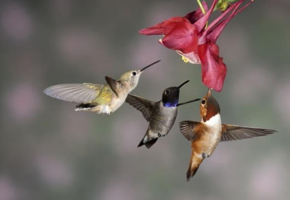 'Hummingbird Trio' by W. Nussbaumer