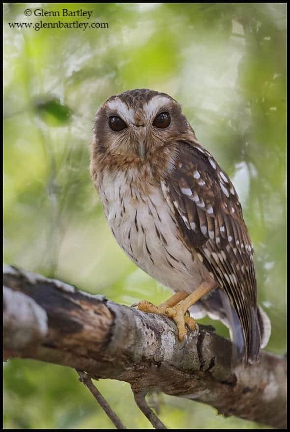 Bare-legged Owl (Gymnoglaux lawrencii)
