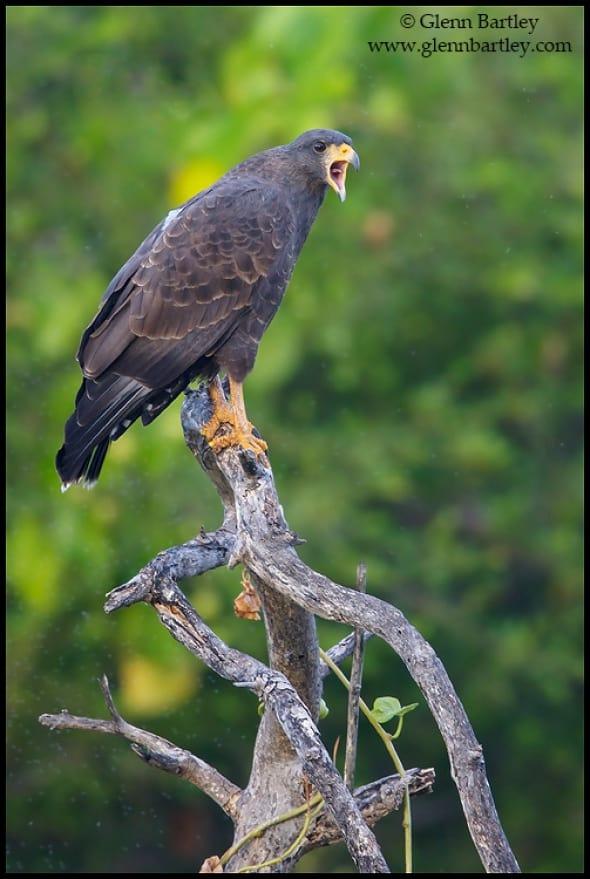 Cuban Black Hawk (Buteogallus gundlachii)