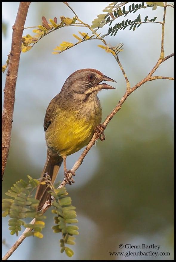 Zapata Sparrow (Torreornis inexpectata)