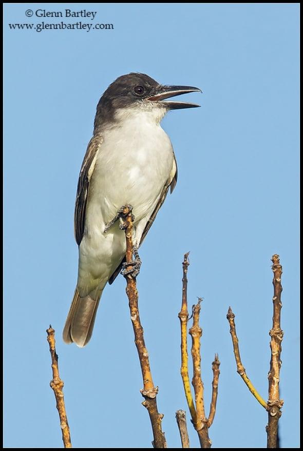 Giant Kingbird (Tyrannus cubensis)