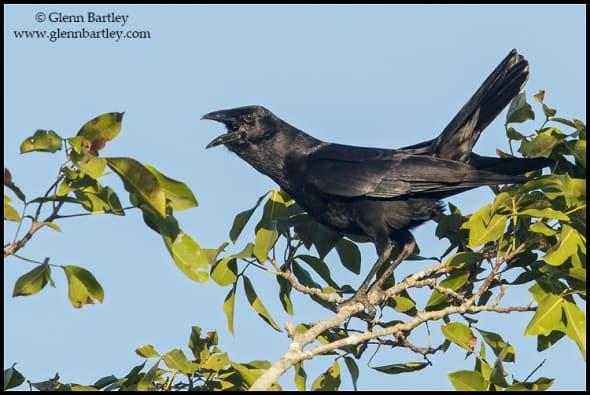 Cuban Palm Crow (Corvus minutus)