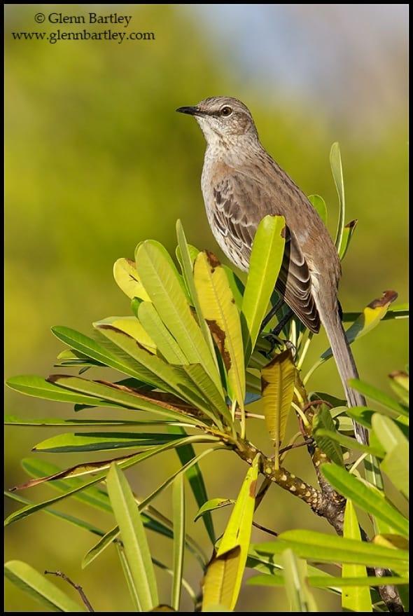 Bahama mockingbird (Mimus gundlachii)