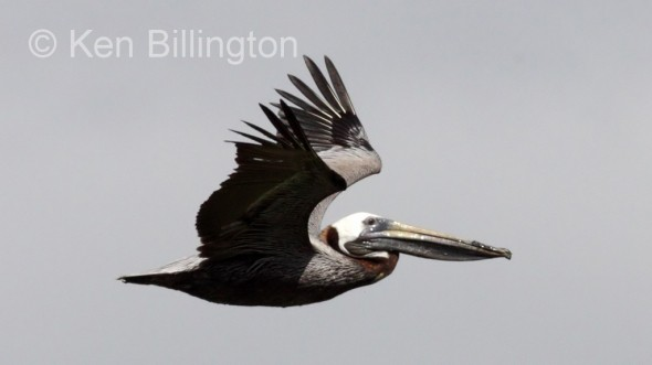 Brown Pelican (Pelecanus occidentalis) (1)