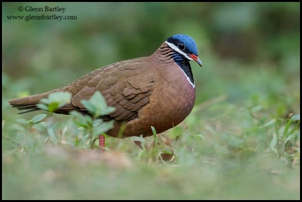 Blue-headed Quail-dove (Starnoenas cyanocephala)