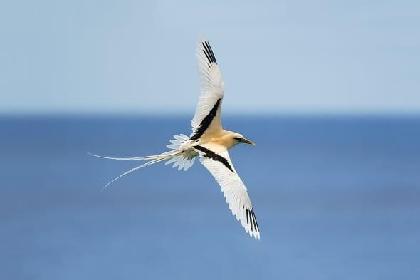 Bosun Bird