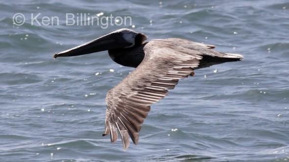 Brown Pelican (Pelecanus occidentalis) (3)