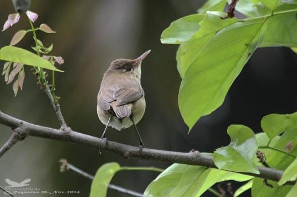 Booted Warbler-iduna Caligata