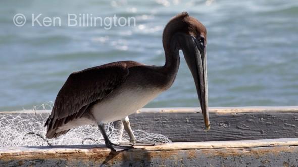 Brown Pelican (Pelecanus occidentalis) (5)