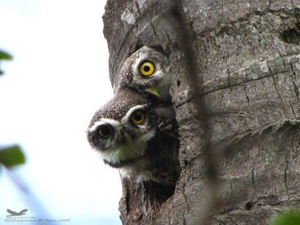 Spotted Owlet- Athene Brama