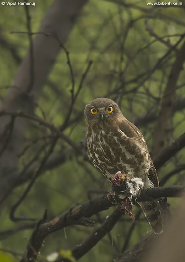 Brown Hawk Owl   Ninox Sculata