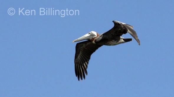 Brown Pelican (Pelecanus occidentalis) (7)