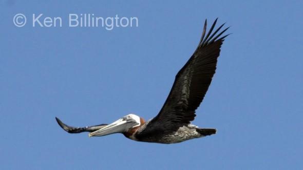 Brown Pelican (Pelecanus occidentalis) (8)