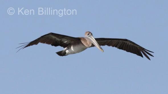 Brown Pelican (Pelecanus occidentalis) (9)