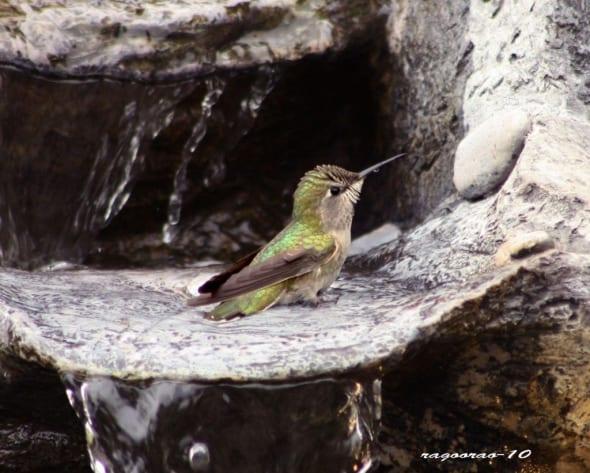 Anna´s Hummingbird- Calypte Anna