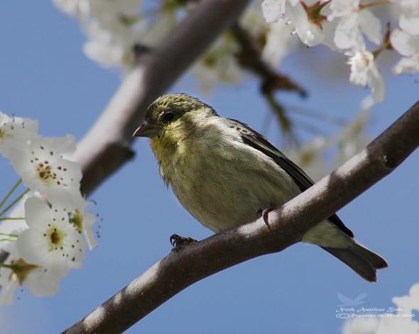 House Finch-haemorhous Mexicanus