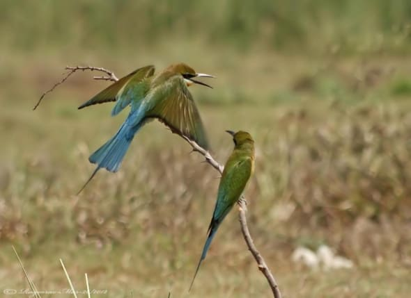 Blue-tailed Bee-eaters- Merops Philippensis