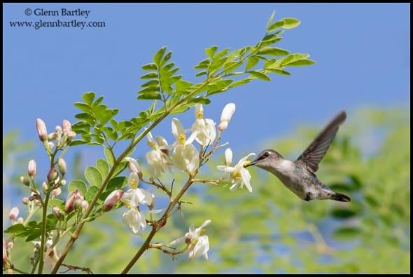 Bee Hummingbird (Mellisuga helenae)