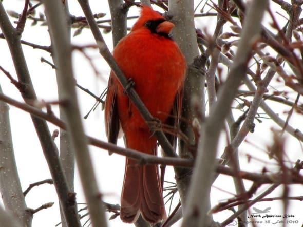 Northern Cardinal- Cardinalis Cardinalis