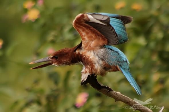 White-throated Kingfisher-halcyon Smyrnensis
