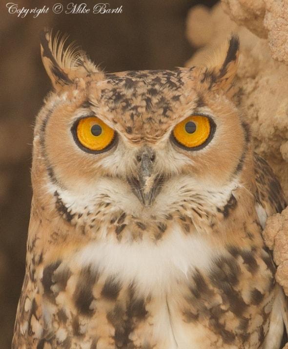 Pharaoh Eagle Owl (Bubo ascalaphus)